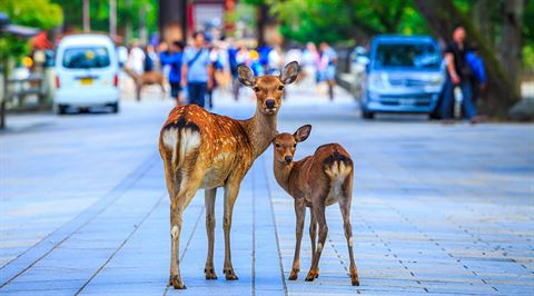 Feed the bowing deer at Nara