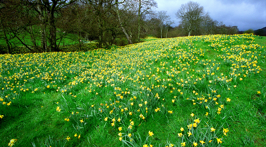 Daffodil Valley, North York Moors, Yorkshire