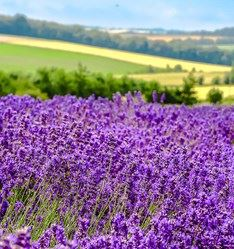 Cotswold Lavender, England